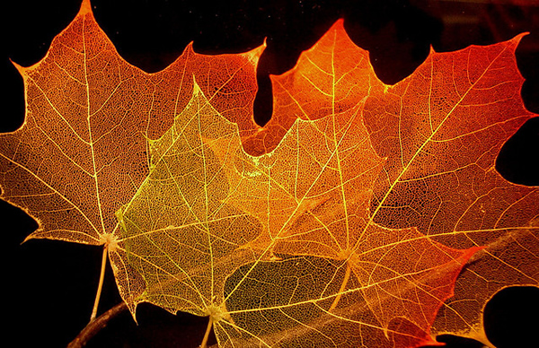 Maple Leaf Structure - Beautiful and Colorful Autumn Leaves Photography