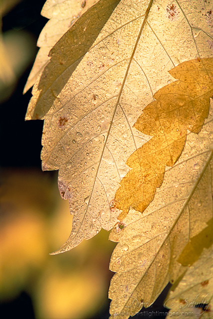Translucent - Beautiful and Colorful Autumn Leaves Photography
