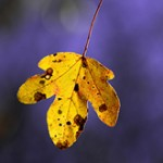 Autumn_Leaves_thumb