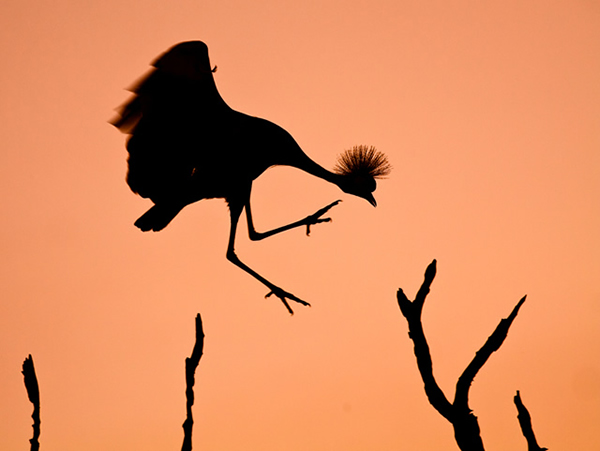 Mr. Crowned Crane A.K.A. Twinkle Toes - Inspire with Natural Lighting in Photography