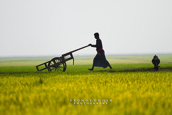 A Walk in the field of gold - Shonir hawor, Sunamganj, Sylhet, Bangladesh