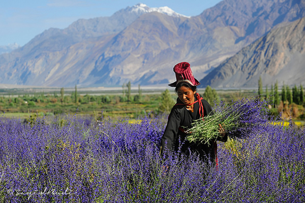 In the Last Lavender Glimmer of Summer Day - Ladakh, India