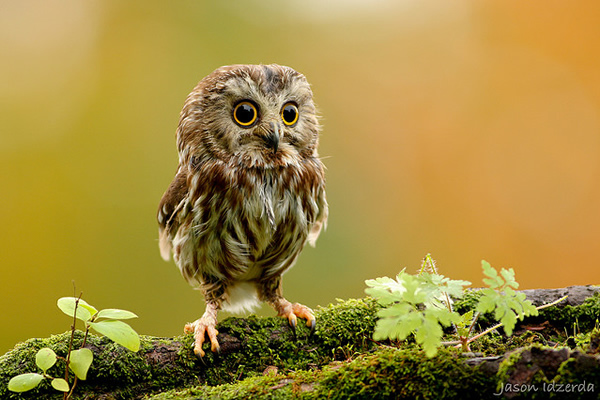 Beautiful Examples of Bird Photography - Saw Whet on the Moss