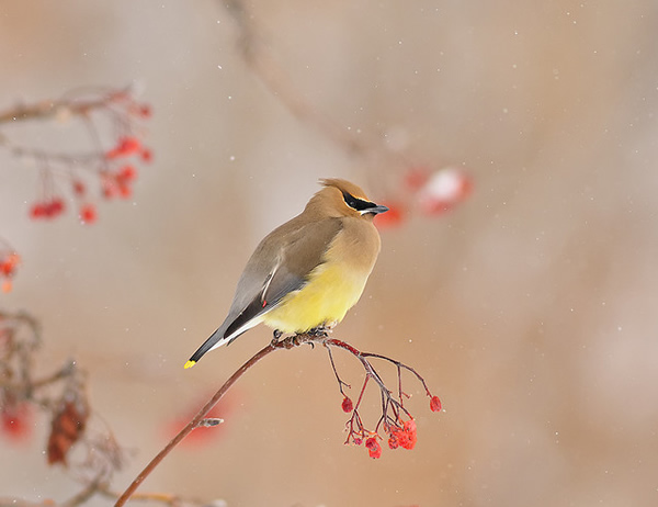 Beautiful Examples of Bird Photography - Snow Falling on Cedar