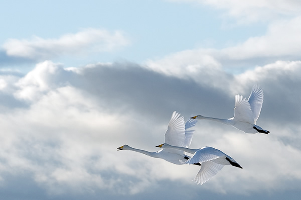 Beautiful Examples of Bird Photography - Swans in the sky