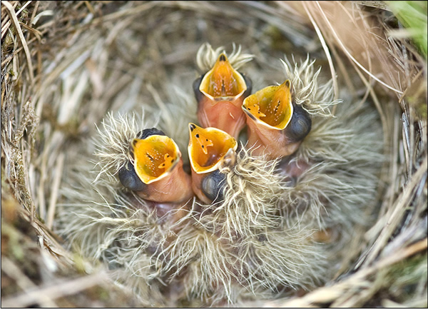 Beautiful Examples of Bird Photography - Skylark Nest