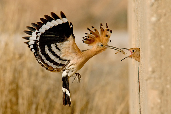 Beautiful Examples of Bird Photography - Hoopoe