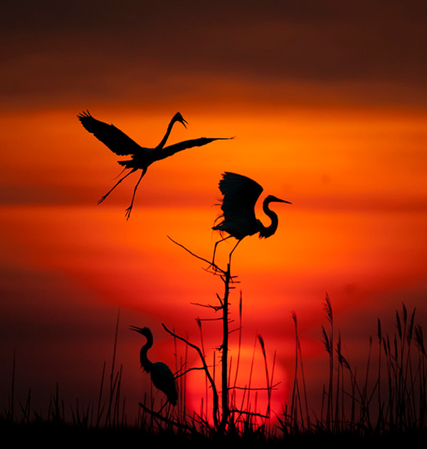Beautiful Examples of Bird Photography - Spotlight on Egrets