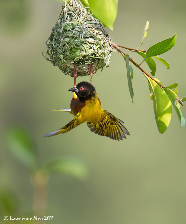 Beautiful Examples of Bird Photography - Golden-backed Weaver