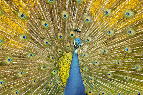 Beautiful Examples of Bird Photography - Peacock