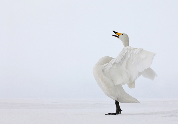 Beautiful Examples of Bird Photography - Whooper Swan