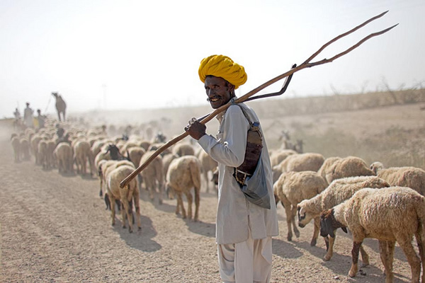 Shepherd with yellow turban - Thar Desert - Indian Color Street Photography