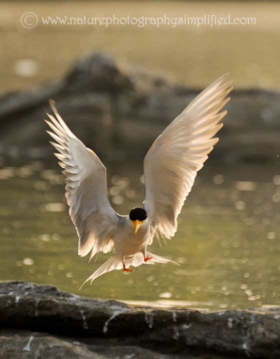 Backlit-River-Tern - 10 Tips to Capture Amazing Photographs of Birds in Flight
