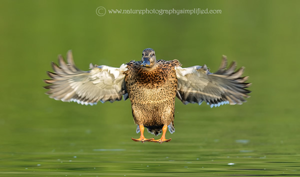 Female-Mallard-Duck-Landing-Full-Spread-Wings-Front-Pose - 10 Tips to Capture Amazing Photographs of Birds in Flight