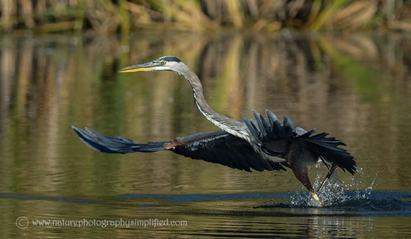 Great-Blue-Heron-Taking-Off - 10 Tips to Capture Amazing Photographs of Birds in Flight