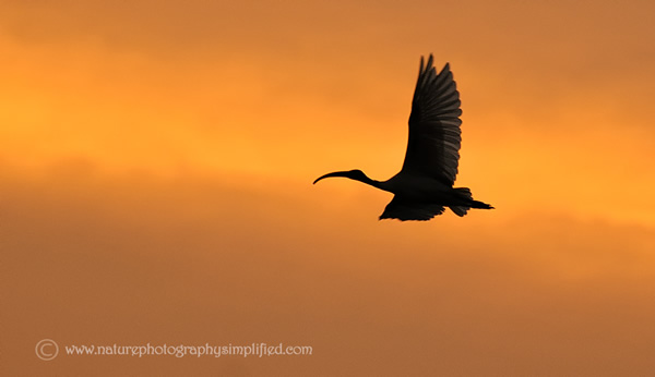 Ibis-Silhouette-In-Sunset - 10 Tips to Capture Amazing Photographs of Birds in Flight