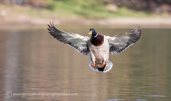 Mallard-Duck-Landing-Full-Spread-Wings - 10 Tips to Capture Amazing Photographs of Birds in Flight