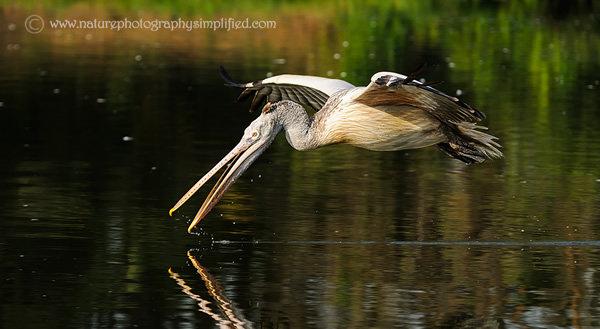 Pelican-Scooping-the-Water-On-The-Fly - 10 Tips to Capture Amazing Photographs of Birds in Flight