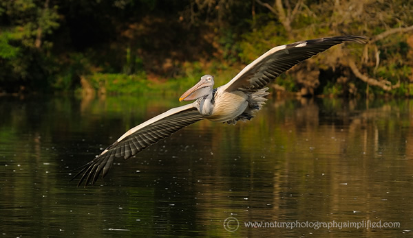 Wide-Spread-Wings-of-a-Pelican-In-Flight - 10 Tips to Capture Amazing Photographs of Birds in Flight