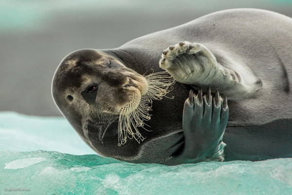 'Flirting Bearded Seal' by Audun Rikardsen