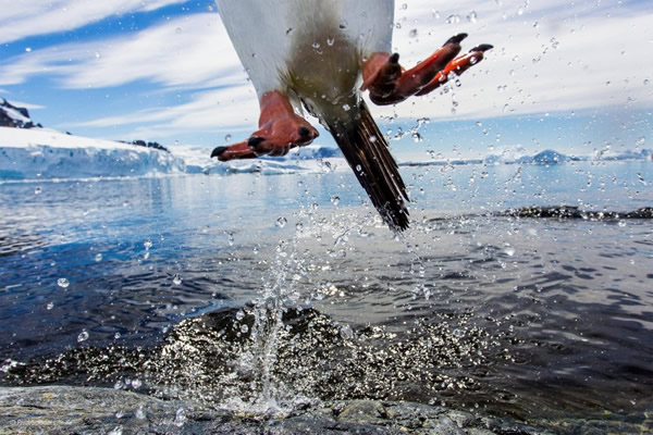 'Leaping Gentoo Penguin' by Paul Souders