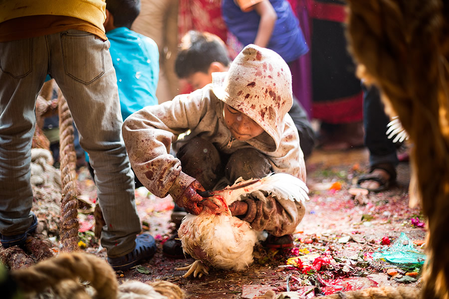 Animal sacrifice during the festival