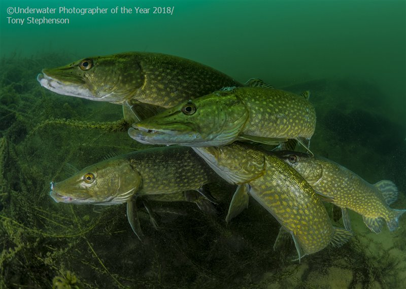 Most Promising British Underwater Photographer 'How many pike?' - Tony Stephenson