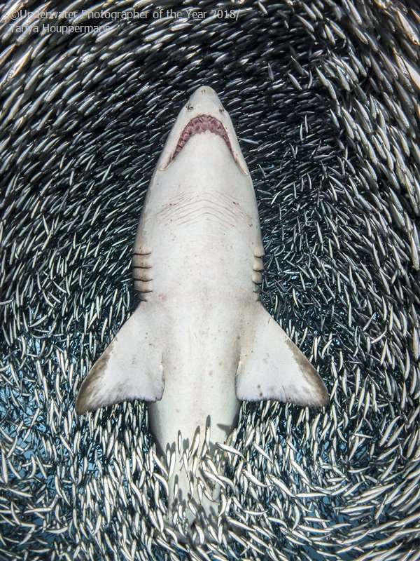 Portrait - Winner 'A sand tiger shark surrounded by tiny bait fish' - Tanya Houppermans