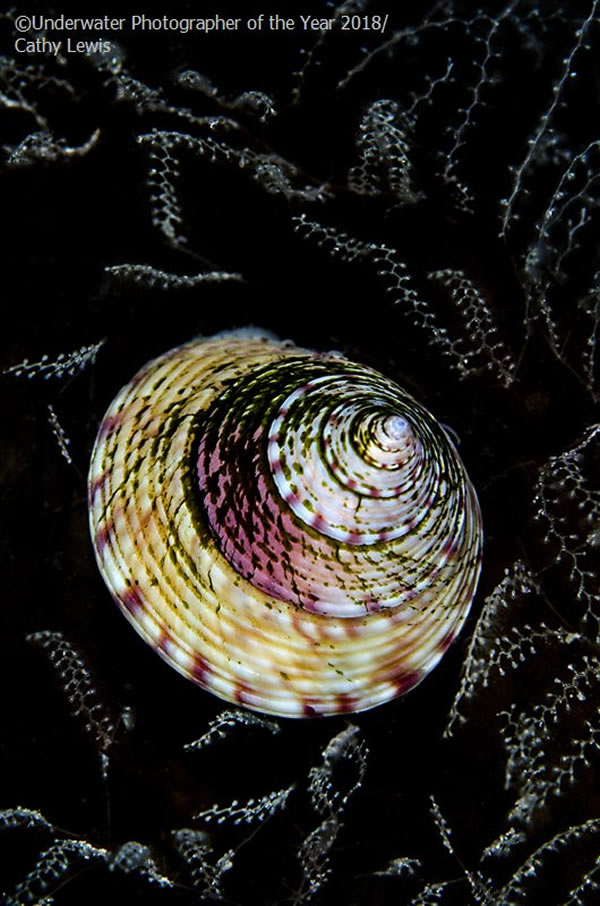 British Waters Macro - Runner Up 'Topshell tapestry' - Cathy Lewis