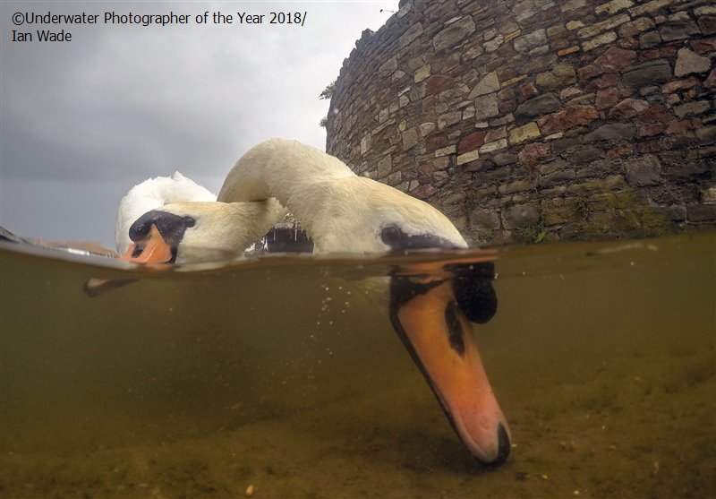 British Waters Compact - Runner Up 'Intertwined Mute Swans' - Ian Wade