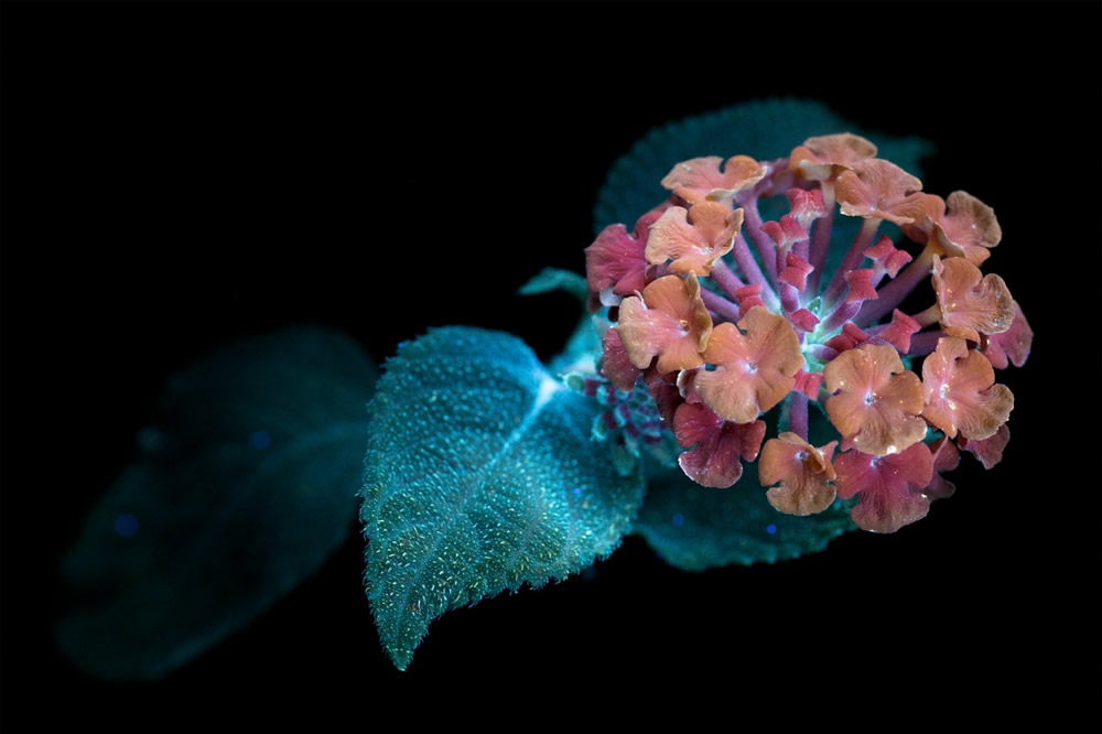 Photographer Craig P. Burrows Captures Intensely Beautiful Flowers Under Ultraviolet Lights