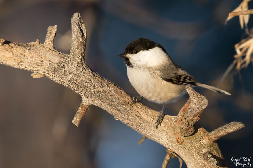 The Willow Tit Is A Common Inhabitant Of The Forest