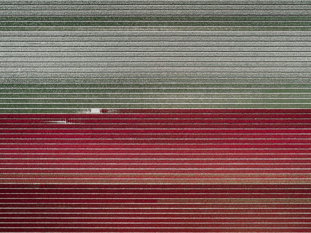 The Tulip: Photo Series By German Photographer Tom Hegen