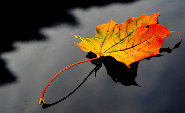 Maple leaf - Beautiful and Colorful Autumn Leaves Photography