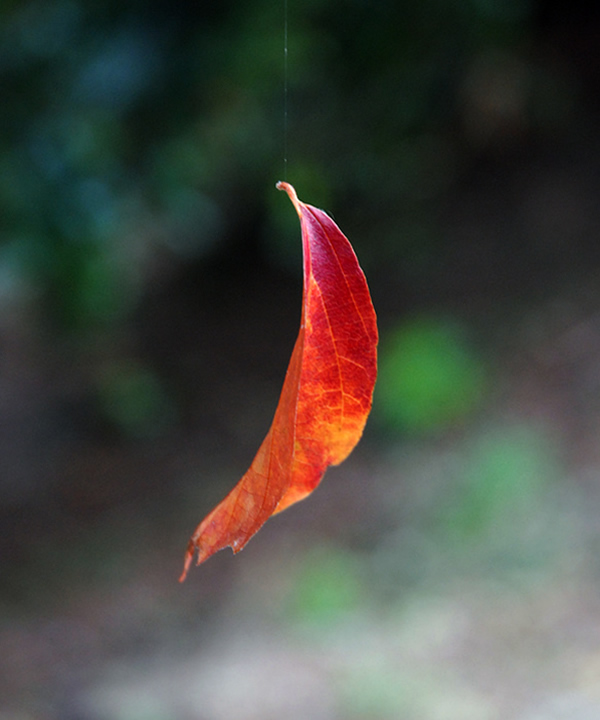 Autumn leaf hanging by a thread - Beautiful and Colorful Autumn Leaves Photography