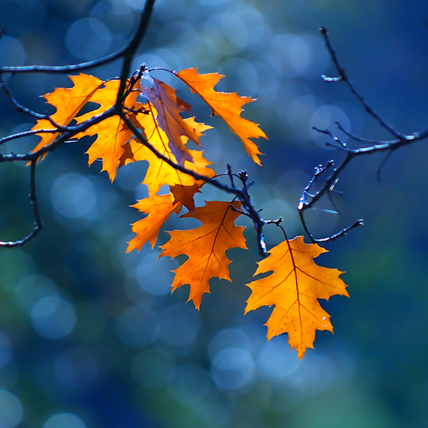 Blue is My Color - Beautiful and Colorful Autumn Leaves Photography