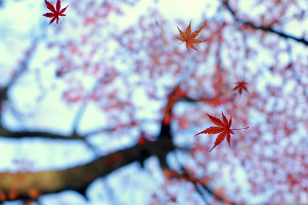 Heirinji - Beautiful and Colorful Autumn Leaves Photography