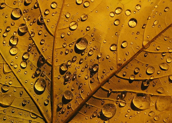 Golden Drops of Autumn - Beautiful and Colorful Autumn Leaves Photography
