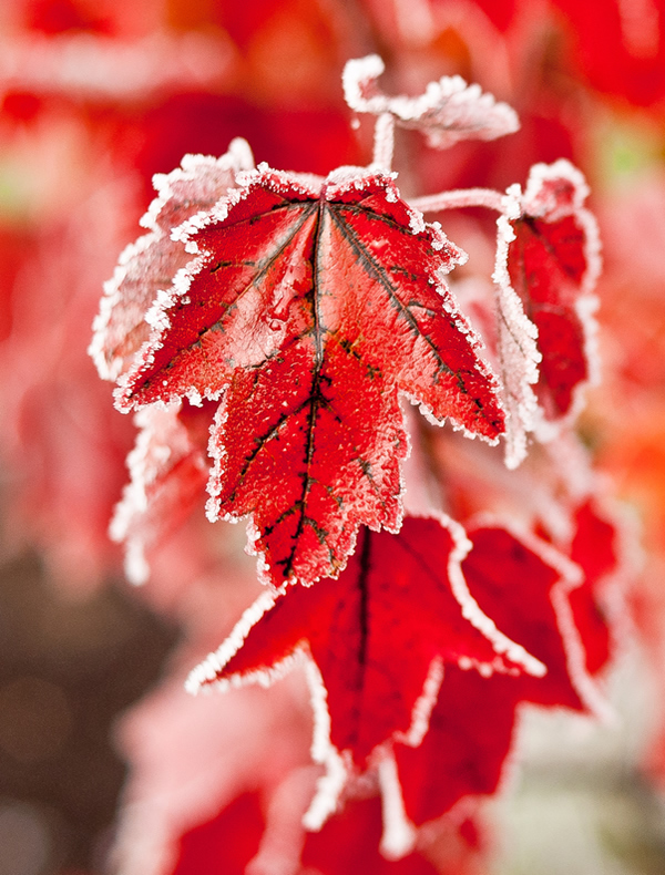 Frosted Red - Beautiful and Colorful Autumn Leaves Photography