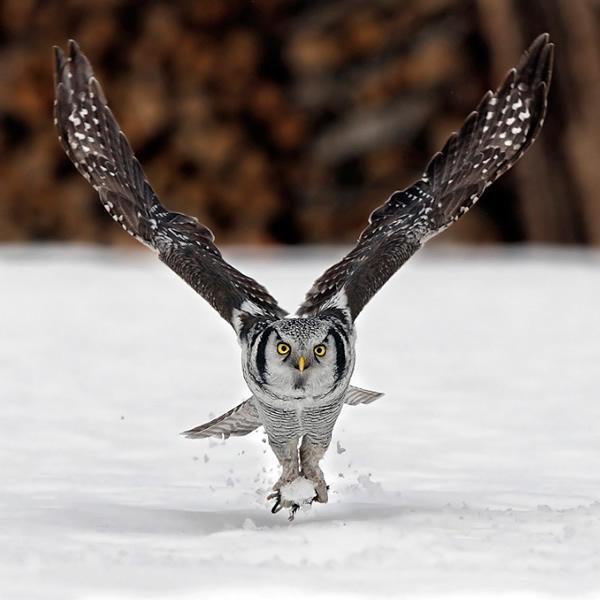 Beautiful Examples of Bird Photography - Ulula