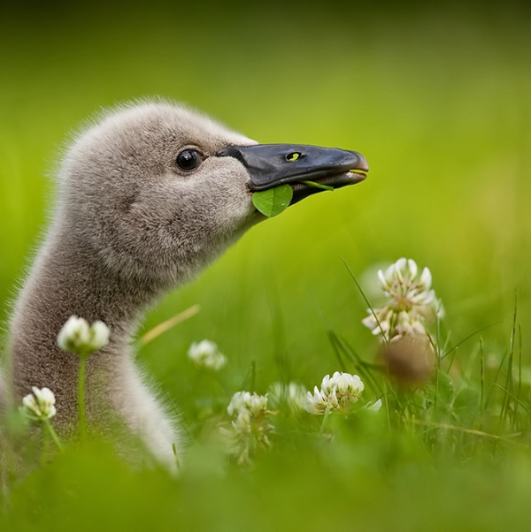 Beautiful Examples of Bird Photography - Black Swan Baby