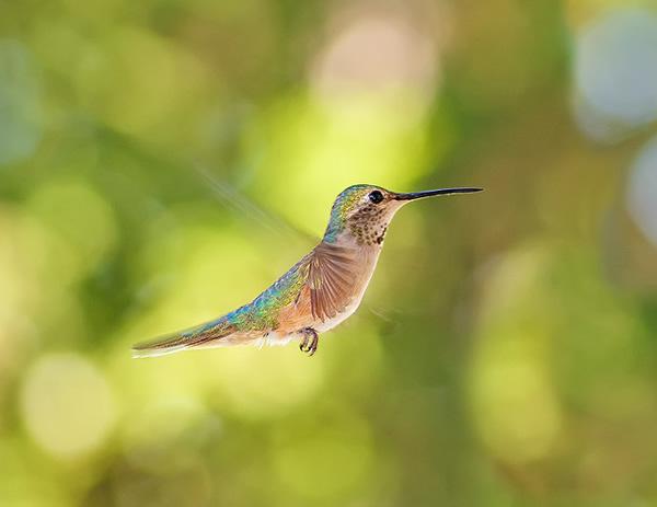 Beautiful Examples of Bird Photography - Humming Through Circles of Light
