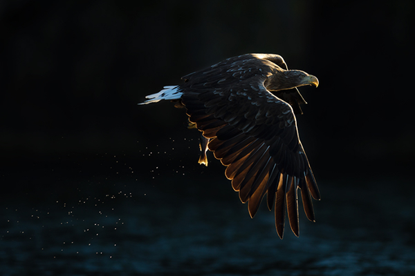 Beautiful Examples of Bird Photography - White-Tailed Sea Eagle