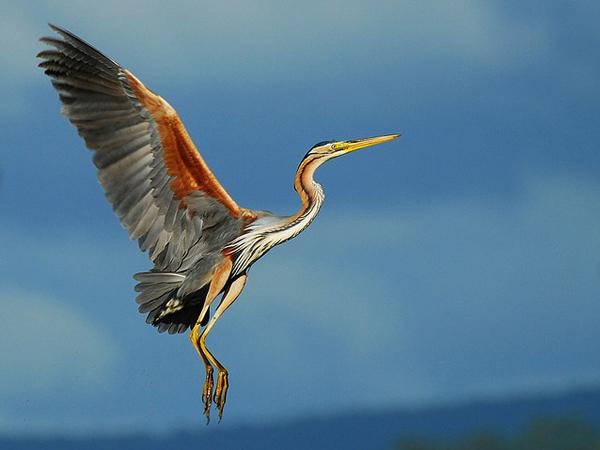 Beautiful Examples of Bird Photography - Garça Vermelha / Purple Heron