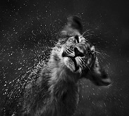 laurent_baheux_wild_life_photography_thumb