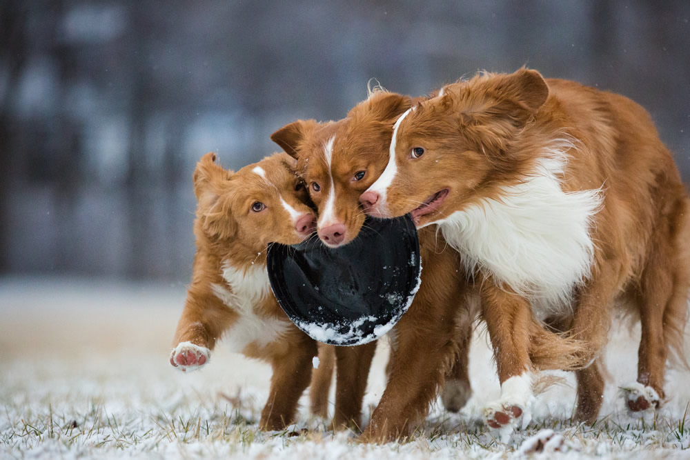 3rd Dogs at Play By Sarah Beeson
