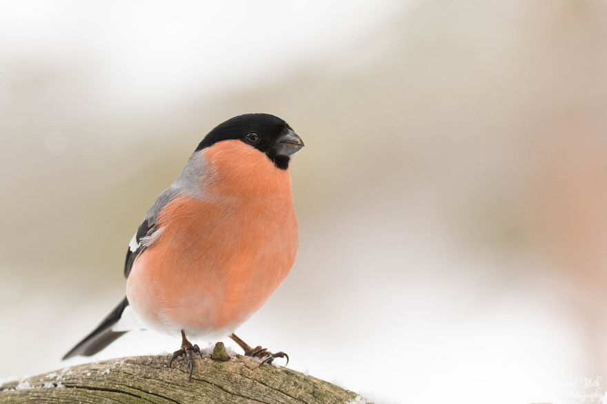 The Bullfinch Is Another Very Colourful Bird