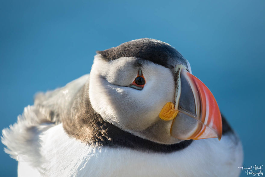 """Atlantic Puffin, Nicknamed """"Sea Parrot"""" In Several Languages"""