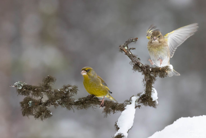 A Female Greenfinch Landing Next To Its Mate