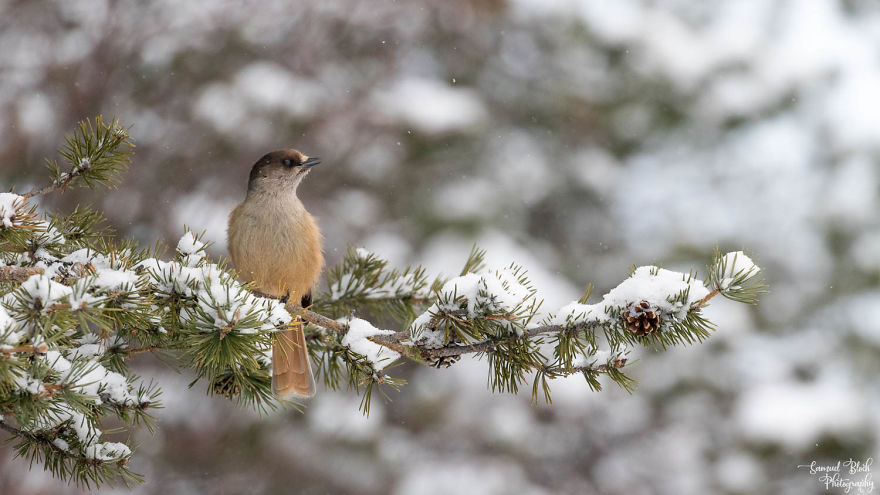 A Siberian Jay Eyeing Lunch At The Feeder In Kaamanen